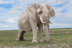 elephant-etosha-namibia